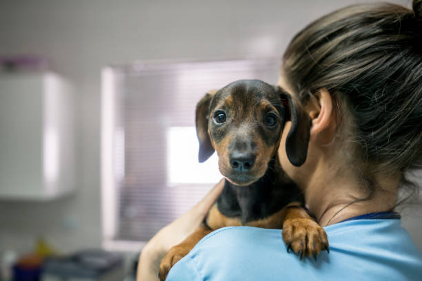portrait of a cute little dachshund carried by an unrecognizable woman at the veterinarian - veterinarian stock photos and pictures