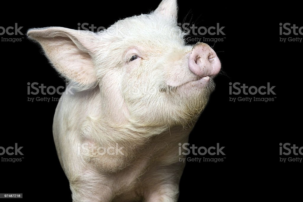 Portrait of a cute pig stock photo