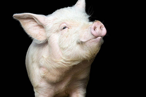 Portrait of a cute pig  snout stock pictures, royalty-free photos & images