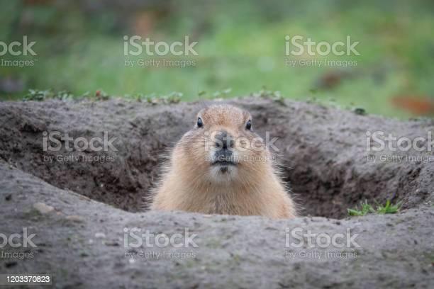 Photo of portrait of a cute prairie dog, genus Cynomys, in a zoo