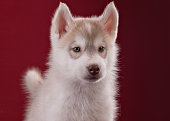 Portrait of a cute puppy Siberian Husky in the Studio.