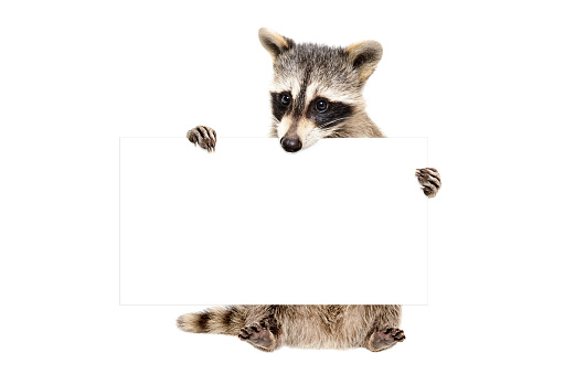 Portrait of a  cute raccoon sitting with banner