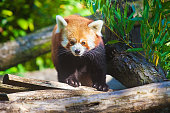 istock Portrait of a cute Red Panda 513542708