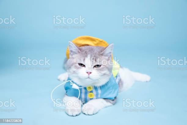 Portrait of a cute scottish straight cat picture id1184220828?b=1&k=6&m=1184220828&s=612x612&h=4w5oefaea9wrrgpzs3q9uvnmlfqymqyb0jla8vw jna=
