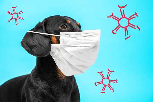 Portrait of a cute sick Dachshund dog, black and tan, wearing white medical mask on a muzzle on a blue background, with schematically drawn red viruses or molecules. concept of pet protection