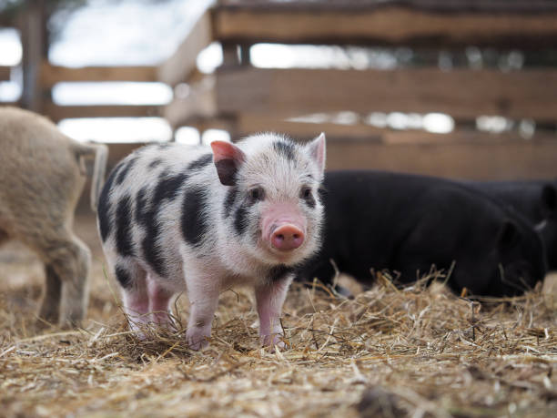 Portrait of a cute spotted pig on a free-range farm stock photo