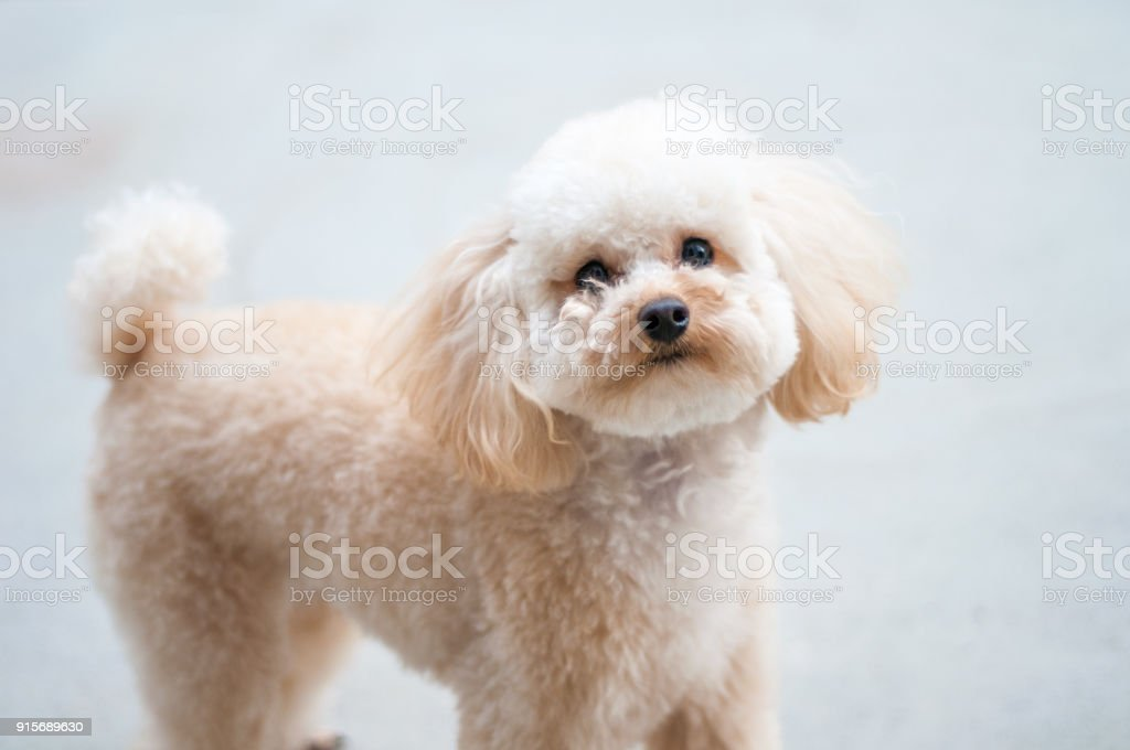 Portrait Of A Cute Toy Poodle Puppy Stock Photo Download Image Now Istock