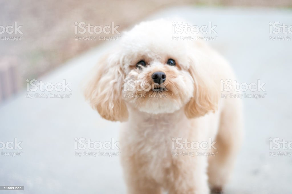 Portrait of a cute Toy Poodle puppy stock photo