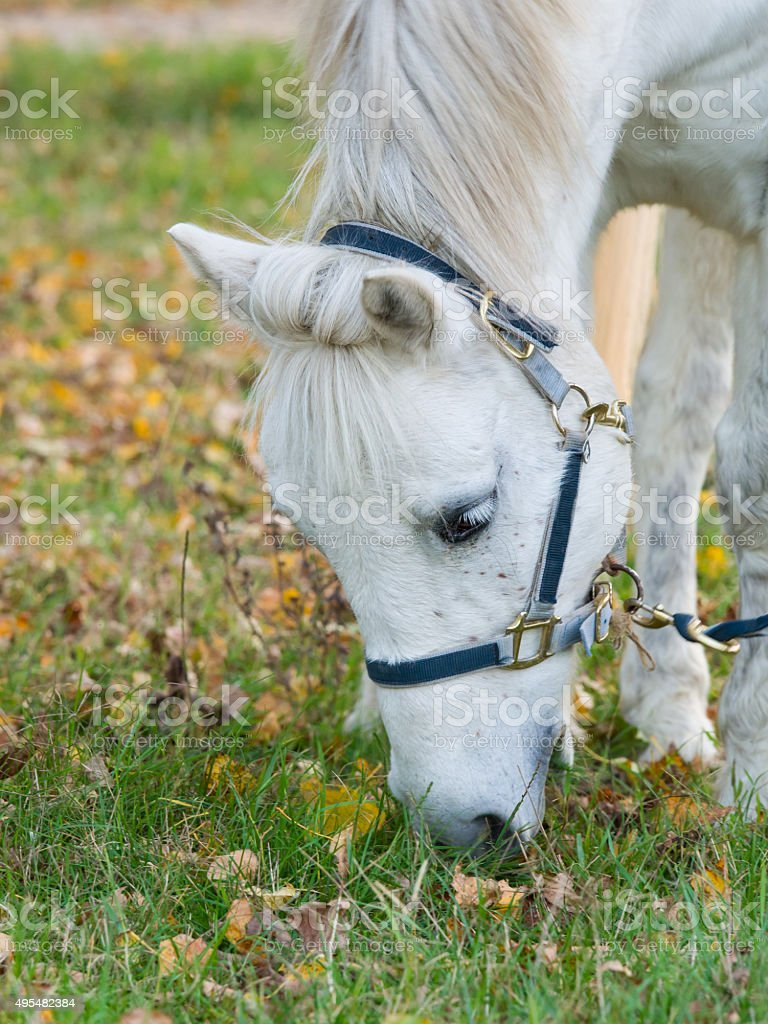 Portrait Of A Cute White Horse Eating Grass Stock Photo Download Image Now Istock