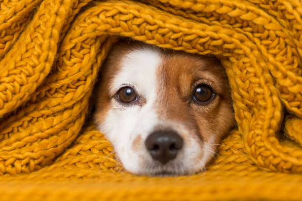 portrait of a cute young small dog looking at the camera with a yellow scarf covering him. White background. cold concept stock photo