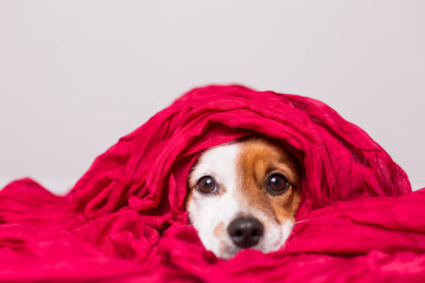 portrait of a cute young small dog looking at the camera with a red scarf covering him. White background stock photo