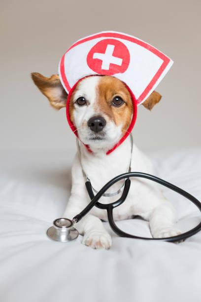 Retrato de un lindo perro pequeño y pequeño sentado en la cama. Usar estetoscopio y gafas. Parece un médico o un veterinario. Hogar, interior o estudio. Fondo blanco. - foto de stock