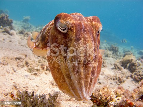 Close up of a cuttlefish - underwater at divesite Bannerfish Bay in Dahab, Egypt.