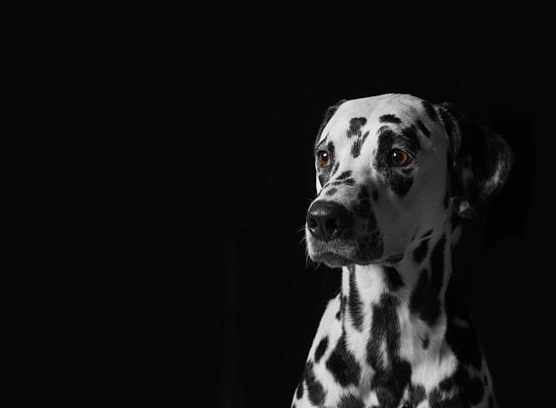 Portrait of a dalmatian dog on black background picture id541119698?b=1&k=6&m=541119698&s=612x612&w=0&h=8u5 qivje1wx0nit8farlhlqrefnoubalvrmdn7 6fc=