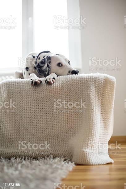Portrait of a dalmatian on sofa picture id174873188?b=1&k=6&m=174873188&s=612x612&h=co7uhypidrvmqvppfov s7pq4mi6qqcg87o8j5efoea=