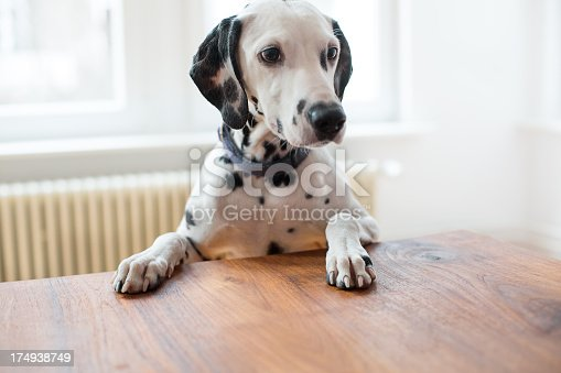 Portrait of a purebred Dalmatian on the table http://bit.ly/16Cq4VM