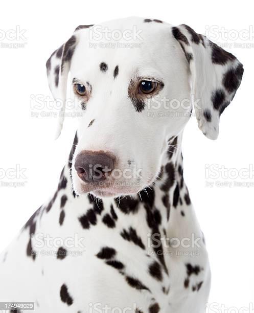 Portrait of a dalmatian picture id174949029?b=1&k=6&m=174949029&s=612x612&h=ck b4tjp1aovb5xainxw sv2wybkkuk86gnvwr1yd54=