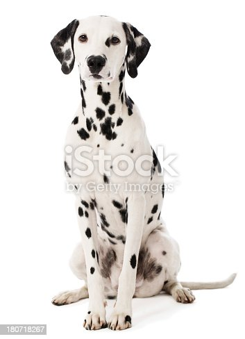 Portrait of a purebred Dalmatian