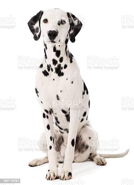 Portrait of a dalmatian picture id180718267?b=1&k=6&m=180718267&s=612x612&h=nnpct74uvx7swu08ehzmoq8qrsjbxrplljguhxjxdxc=