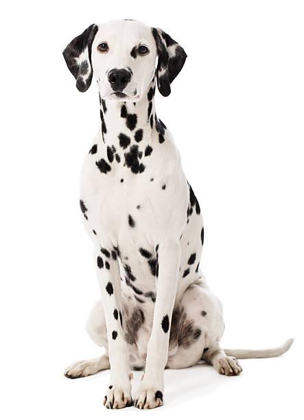 Portrait of a dalmatian picture id180718267?b=1&k=6&m=180718267&s=612x612&w=0&h=r0xpxrgv5s12nuapwiksvs mbzq2nhuht w7fnydkmm=