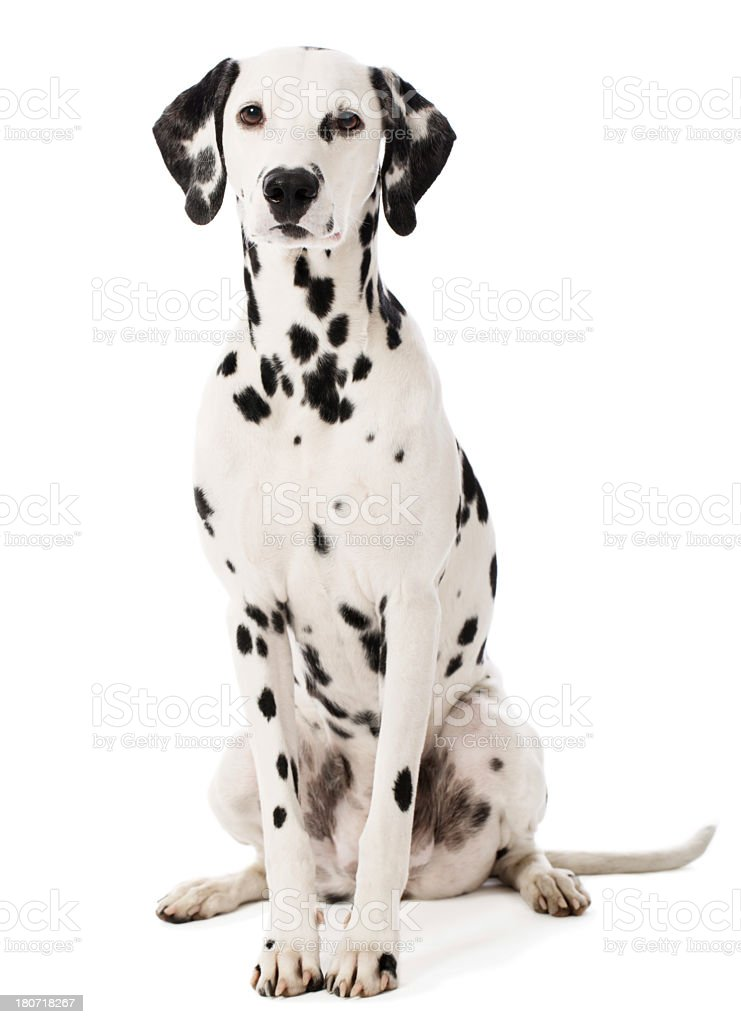 Portrait of a Dalmatian stock photo