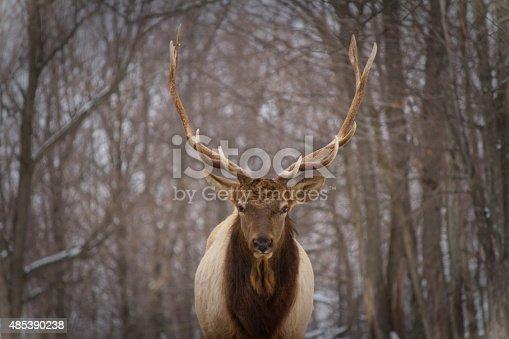istock Portrait of a deer in winter-Canada 485390238