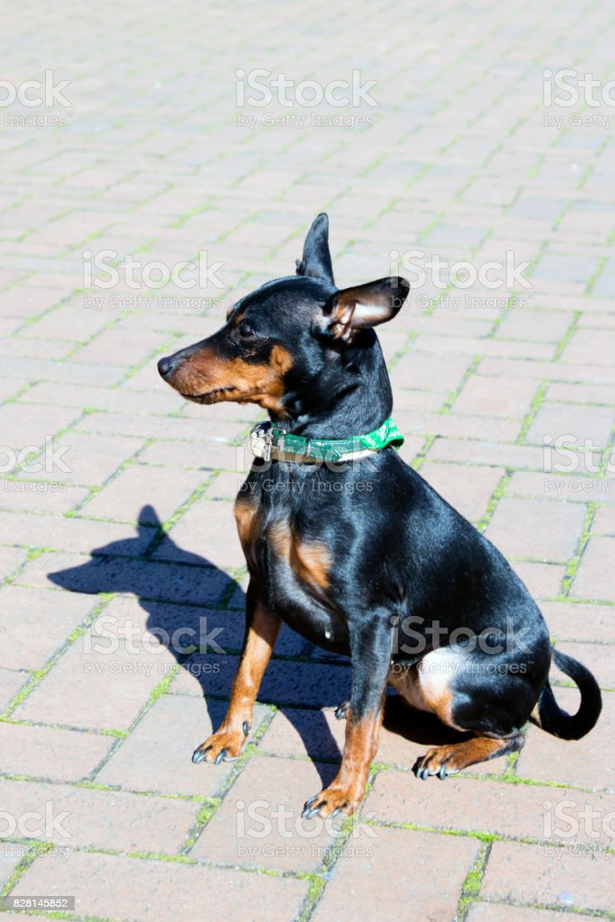 Portrait Of A Doberman Pinscher Puppy Stock Photo Download Image Now Istock