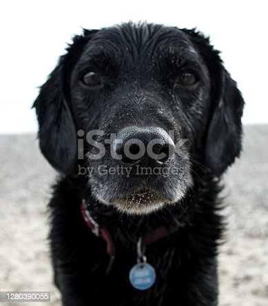 Close up of a dog at the beach, wet, nose in focus and coered in sand.