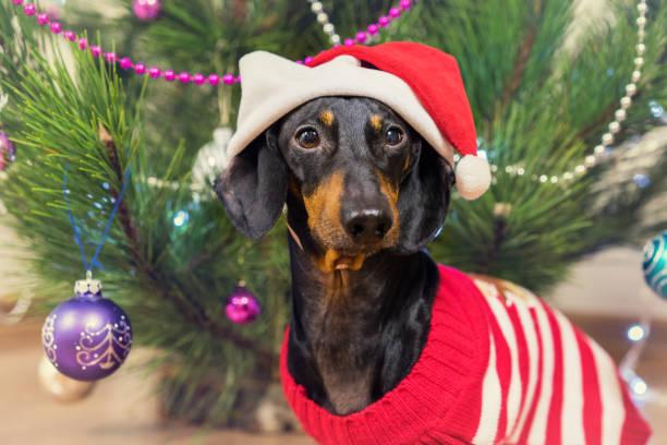 porträt von einem hunderasse dackel, black and tan, in eine festliche rote kappe und pullover auf dem hintergrund des weihnachtsbaumes - nikolaus kostüm stock-fotos und bilder