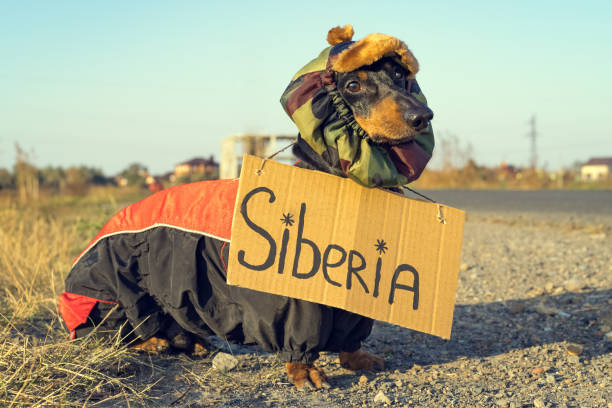 portrait of a dog (puppy) breed dachshund black tan, in warm clothes and a hat stands on the roadside with an autostop signboard, inscription Siberia, waiting for a car stock photo
