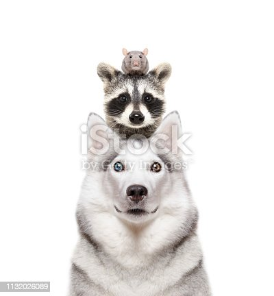 Portrait of a dog breed Siberian Husky with a raccoon and a rat on a head