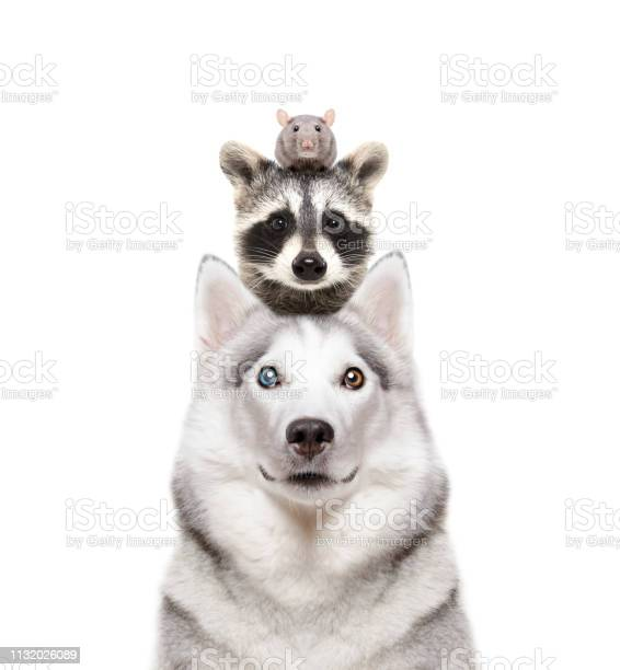 Portrait of a dog breed siberian husky with a raccoon and a rat on a picture id1132026089?b=1&k=6&m=1132026089&s=612x612&h=qn3yih8r eknn4tmvm6gvrovtoai6yoxgy5suy6wdh8=