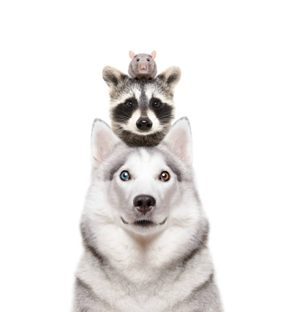 Portrait of a dog breed siberian husky with a raccoon and a rat on a picture id1132026089?b=1&k=6&m=1132026089&s=612x612&w=0&h=oyrmblk74tantbcvcjt5zyoxswgatlbf12u6icx1b2i=