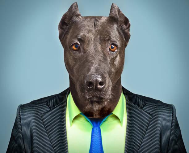 porträt eines hundes in einem business-anzug - knotenkleid stock-fotos und bilder
