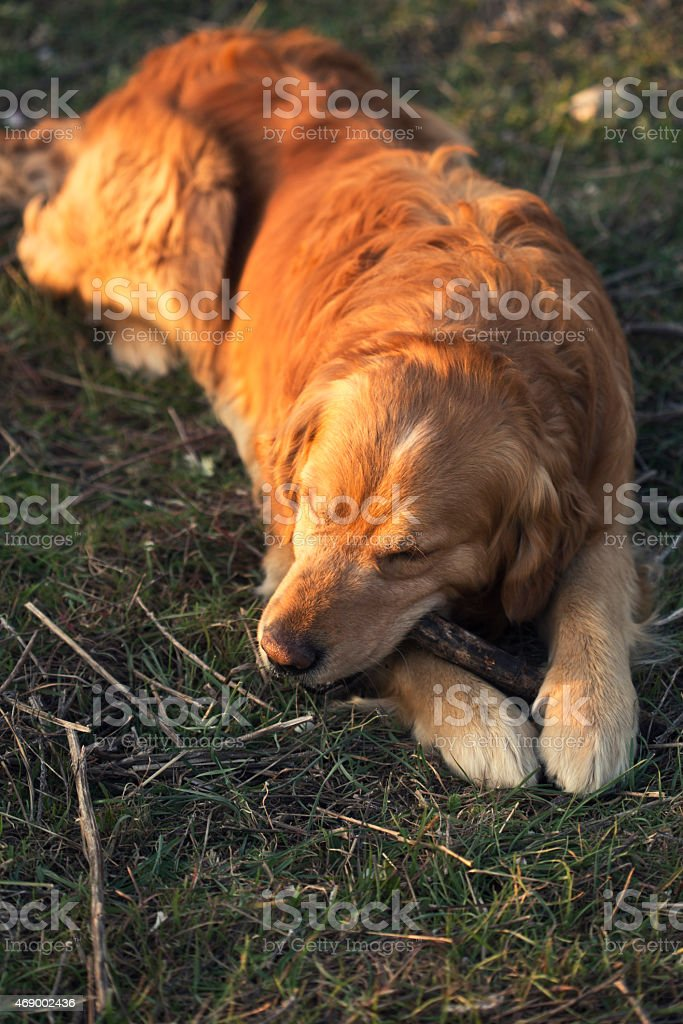 Portrait of a dog in outdoor, golden stock photo