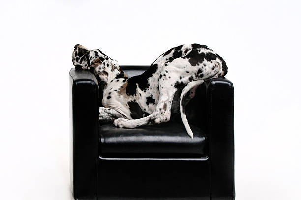 Portrait of a dog in the chair stock photo