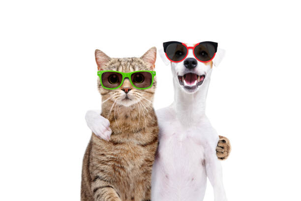 Portrait of a dog Jack Russell Terrier and cat Scottish Straight in sunglasses hugging each other isolated on white background Portrait of a dog Jack Russell Terrier and cat Scottish Straight in sunglasses hugging each other isolated on white background holidays and seasonal stock pictures, royalty-free photos & images
