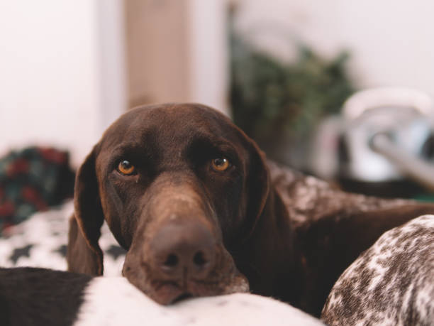 portrait of a dog laying at home stock photo