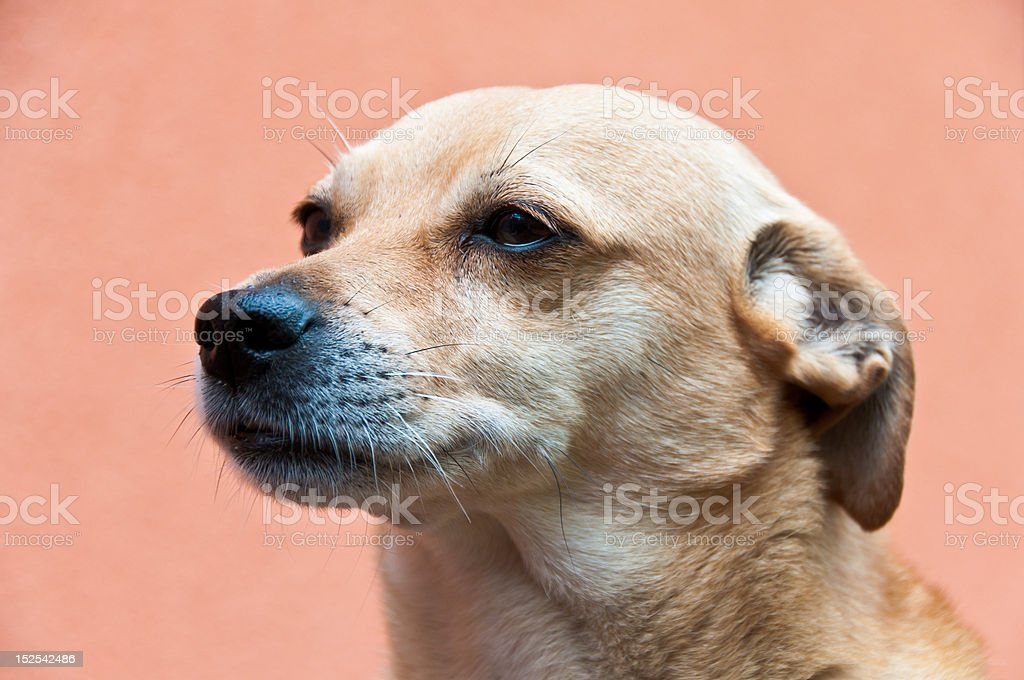 Portrait of a dog listening carefully stock photo