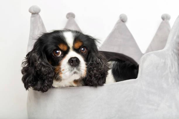 porträt von einem hund  - königin kopfteil stock-fotos und bilder