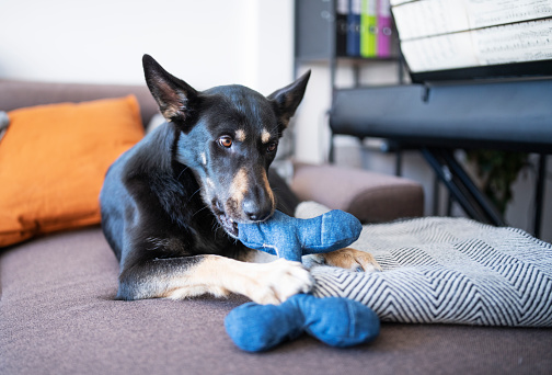 Shot of a dog relaxing on the sofa while playing with a toy.
