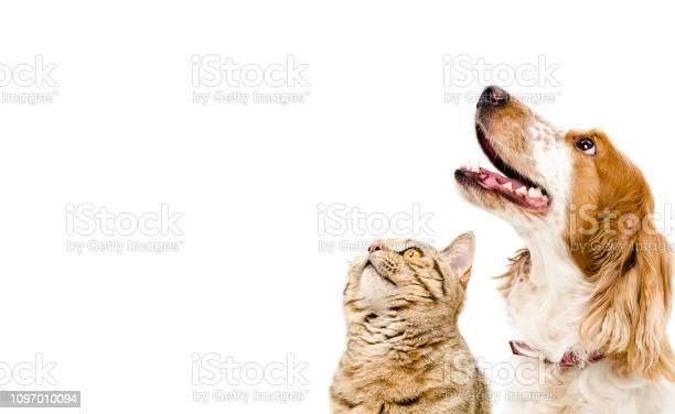 Portrait of a dog russian spaniel and cat scottish straight picture id1097010094?b=1&k=6&m=1097010094&s=612x612&h=r1yq6kado23ftq6oka8t4z4pk4qtsicuudt8mj05oog=