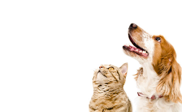 Portrait of a dog Russian Spaniel and cat Scottish Straight Portrait of a dog Russian Spaniel and cat Scottish Straight Isolated on white background domestic cat stock pictures, royalty-free photos & images
