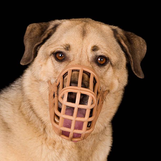 porträt von einem hund trägt eine kunststoff maulkorb - großes 1x1 stock-fotos und bilder