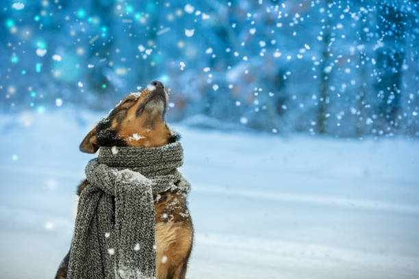 portrait of a dog with a knitted scarf tied around the neck walking in blizzard n the forest. dog sniffing snowflakes - christmas elements imagens e fotografias de stock