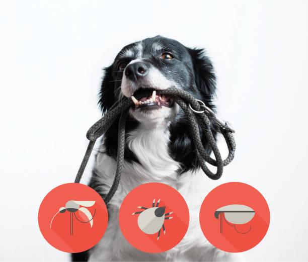 portret van een hond met iconen van parazites rond zijn hoofd. zwarte en witte border collie met riem in de mond. - parasitisch stockfoto's en -beelden