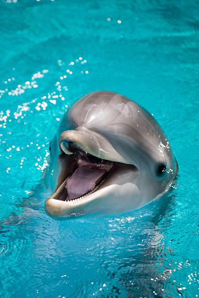 Portrait of a dolphin smiling at the camera stock photo