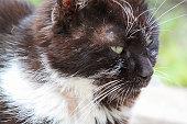 Portrait of a domestic tuxedo cat outdoors