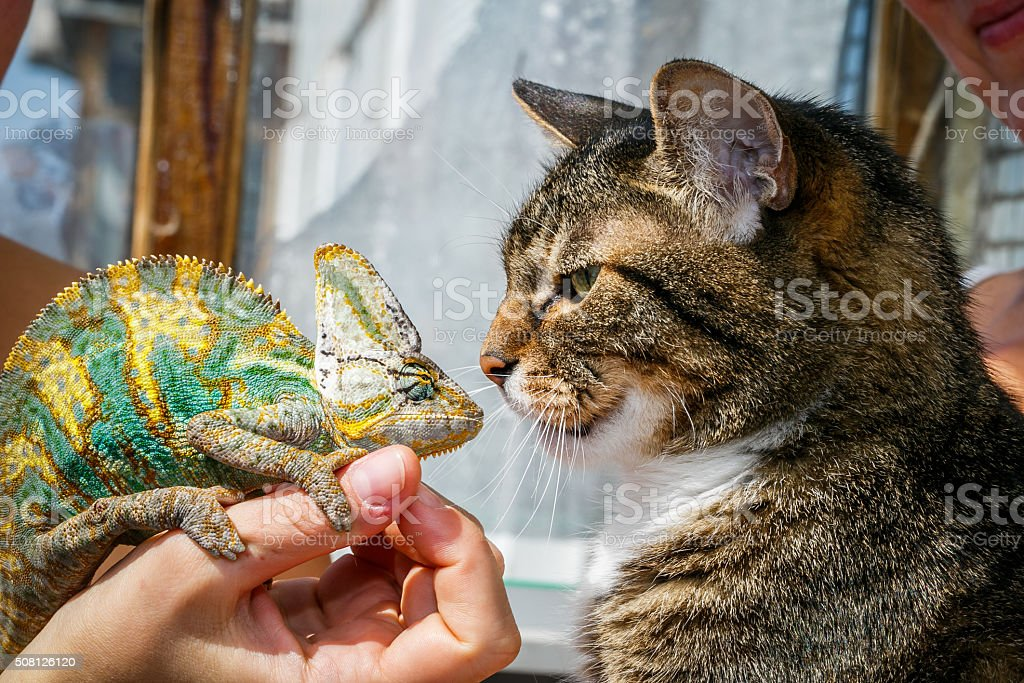 Portrait of a domestic cat close up with a chameleon stock photo