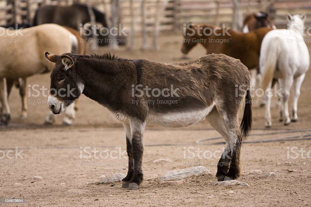 Portrait of a Donkey royalty-free stock photo